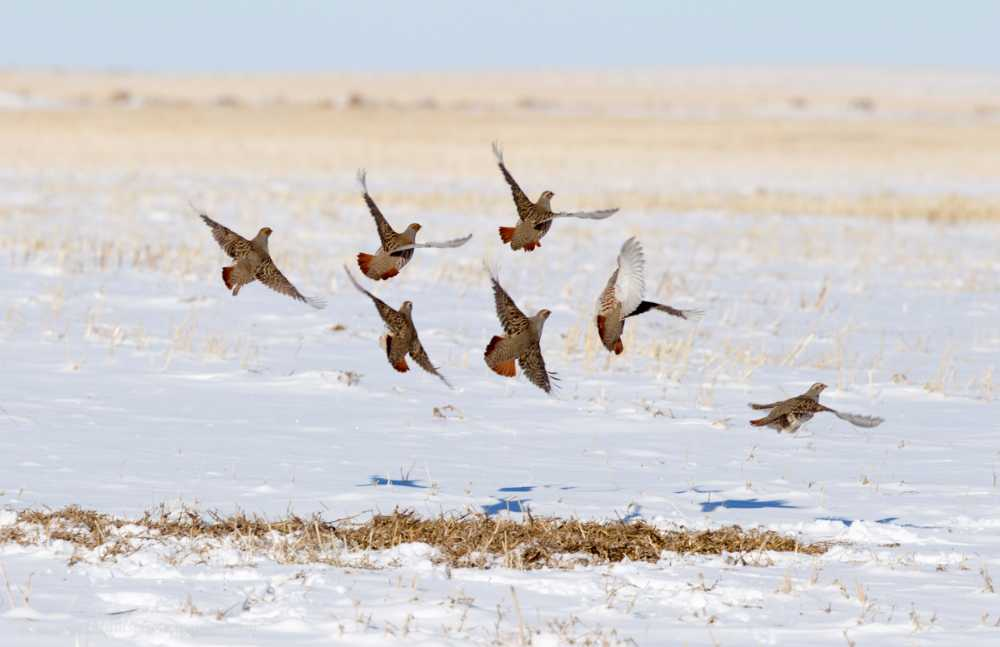 Partridges lift from a stubble in winter (© M Williams)
