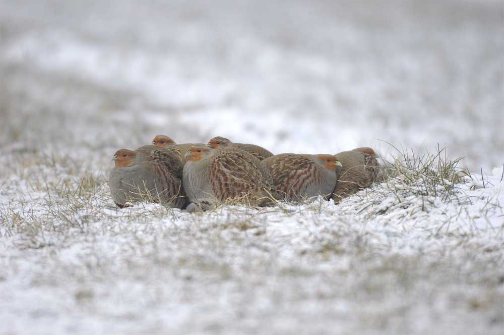 A partridge covey easily visible in snow (© Markus Jenny)