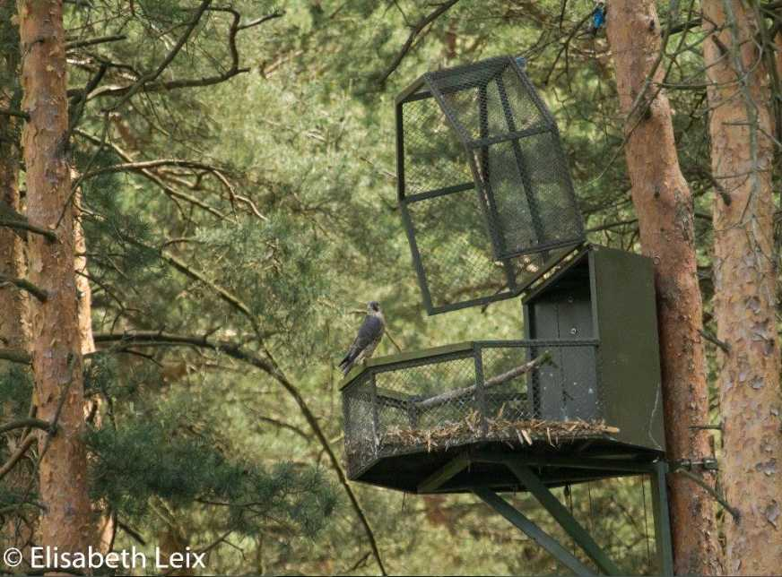 Falconers restored tree-nesting Peregrine Falcons