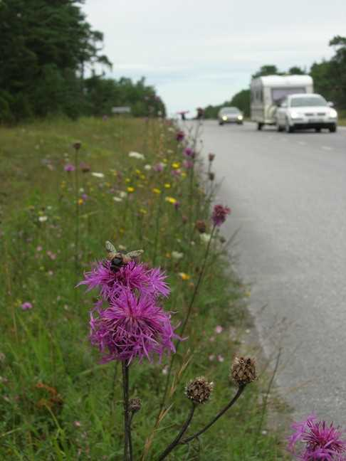 Road verges can be rich in wild flowers and insects.