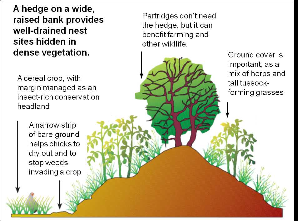 The profile of a field boundary with habitat for partridge nests (© GWCT)