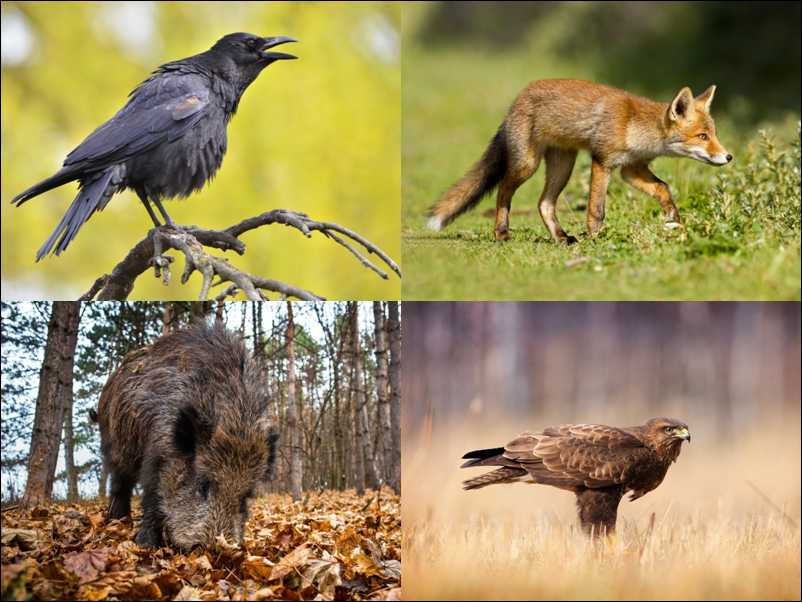 Crow, Fox, Boar and Buzzard (shutterstock.com)